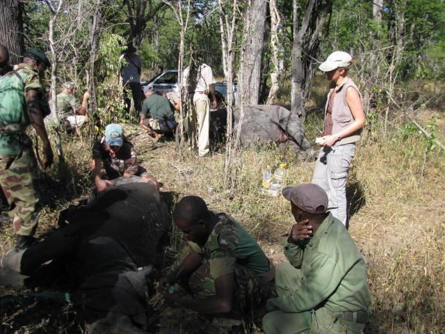 Liwonde fitting rhino horn transmitters