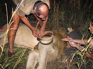 Majete lion collaring