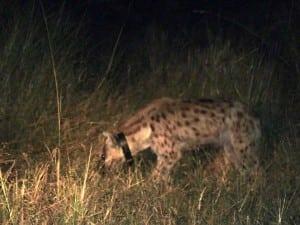 night observation hyaena translocation