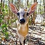 Twizzler the bushbuck