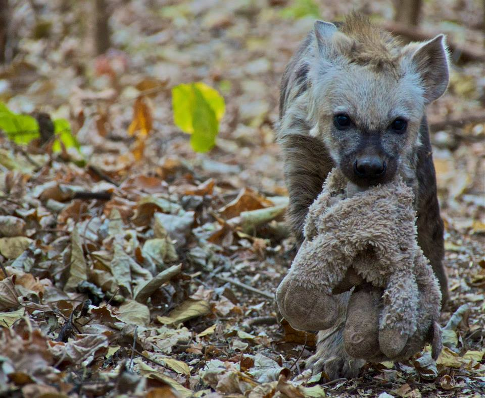 A FUTURE FOR A HYAENA CUB