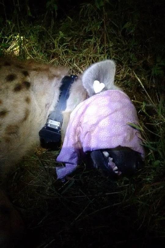 urban hyaena collar