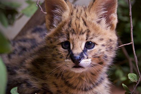 Baby_serval