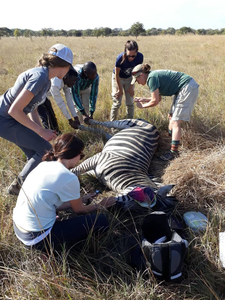 vet externs help remove a poacher snare
