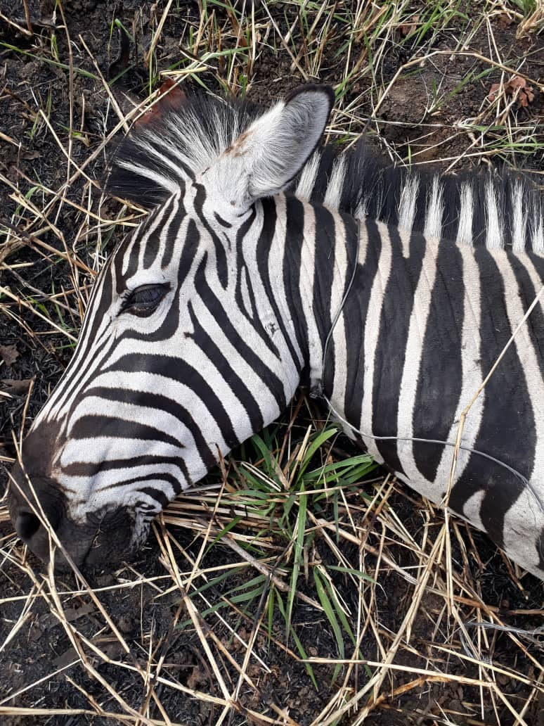 Zebra with poacher snare around its neck