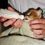 Serval kitten feeding