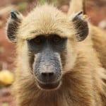 Yellow baboon, Alf