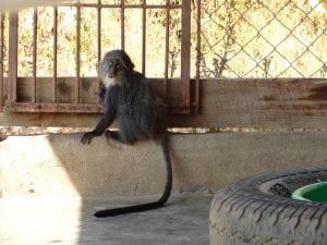 Blue Monkey enclosure