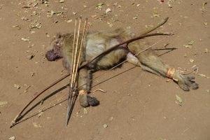 baboon bushmeat