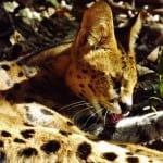 Chorley, our resident serval cat