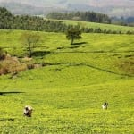 The rolling tea fields of Satemwa