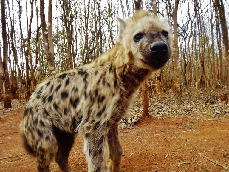Hyenas can live in clans of up to 100 in the wild