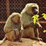 Two of our olive baboons