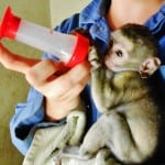 Orphaned monkey feeding