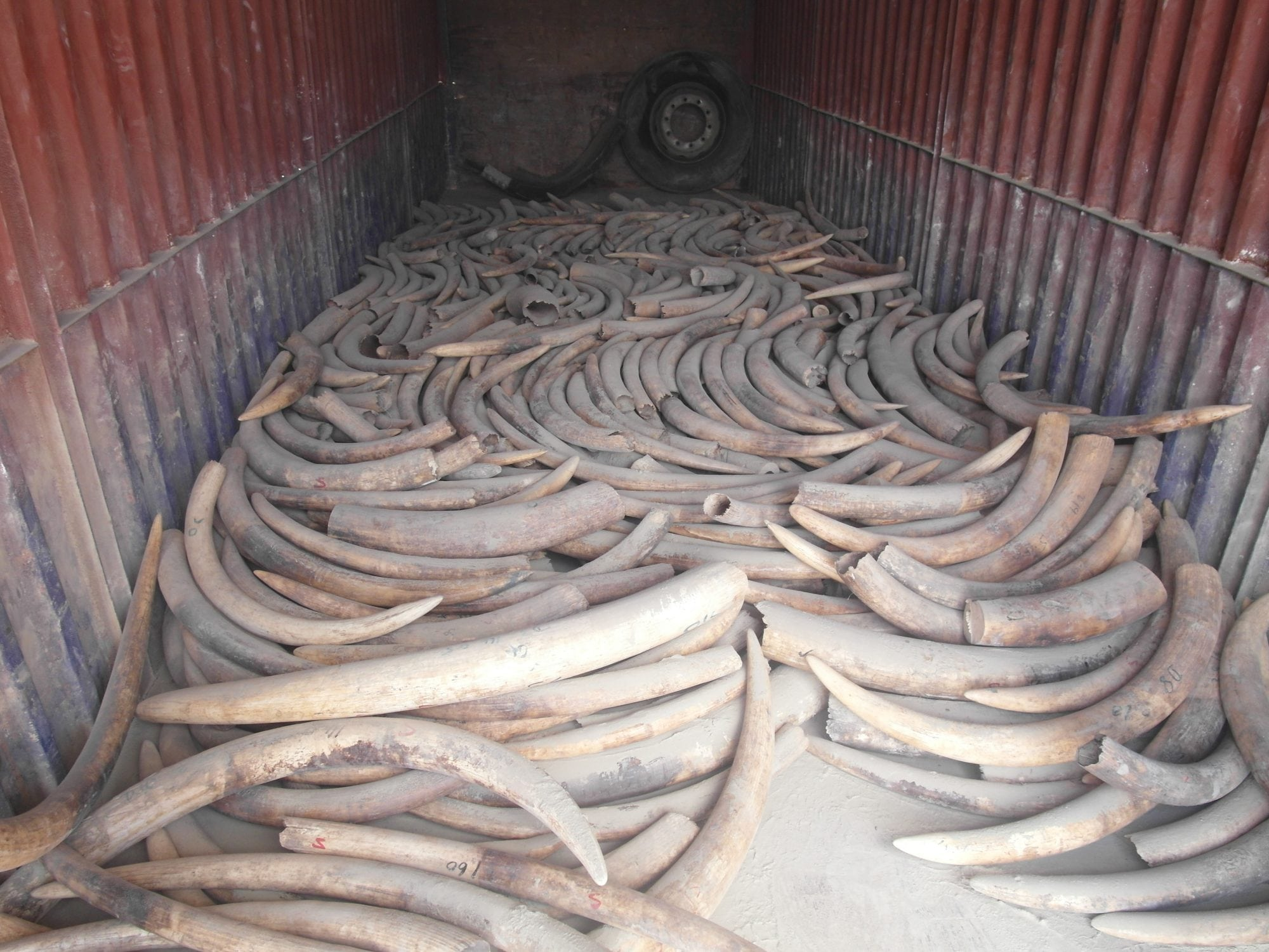 Exposed Ivory in the track