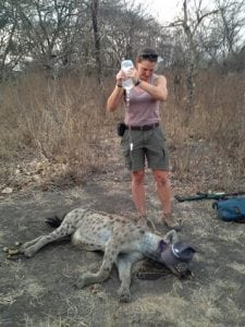 hyena collar removal