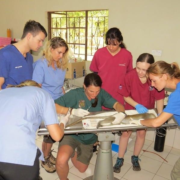 Students assist vervet procedure