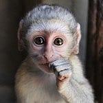 Monster infant vervet monkey