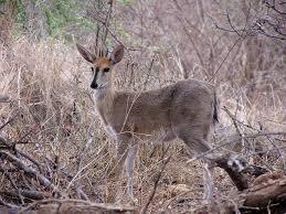 Lengwe antelope