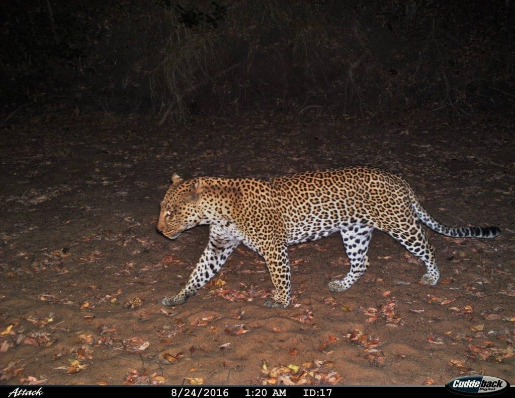 leopard-camera-trap