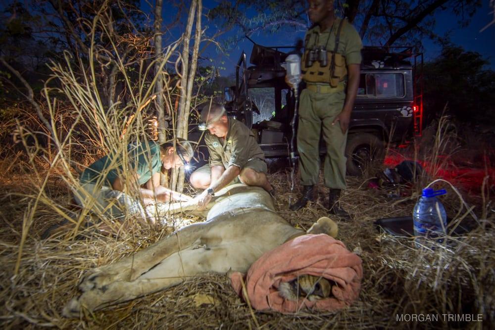 M.Trimble Majete Lion Collaring-6