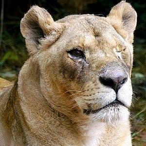 Adopt Bella the lion