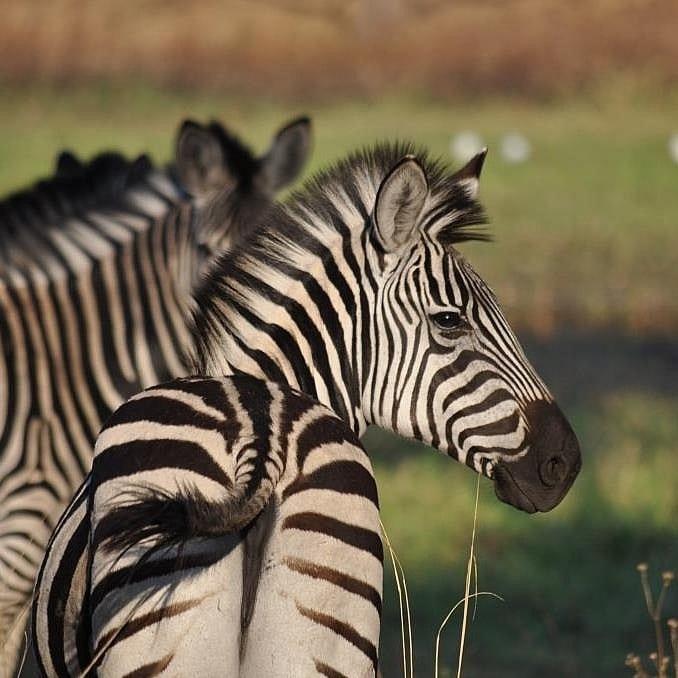 Resident zebra