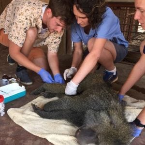 baboon procedure
