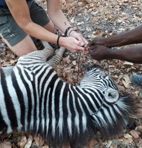 removing snare from zebra foal