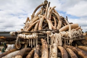 A picture made available on 2 April 2015 shows a pile of illegal ivory in the parliament, Lilongwe, Malawi 2 April 2015. The Malawi government singled onto the Kasane Statement on the Illegal Wildlife Trade last week, while many other SADCs counties request their rights to sell these ivory stockpiles. EPA/ERICO WAGA