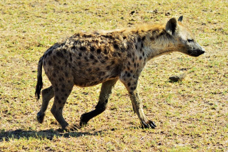 Usiku as a strong, nearly fully grown hyena