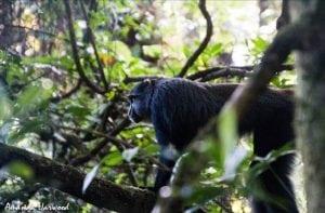 Blue monkey release