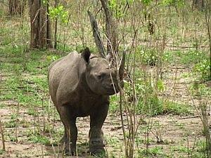 rhino11