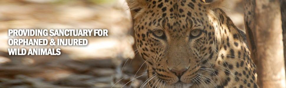 sanctuary_leopard2