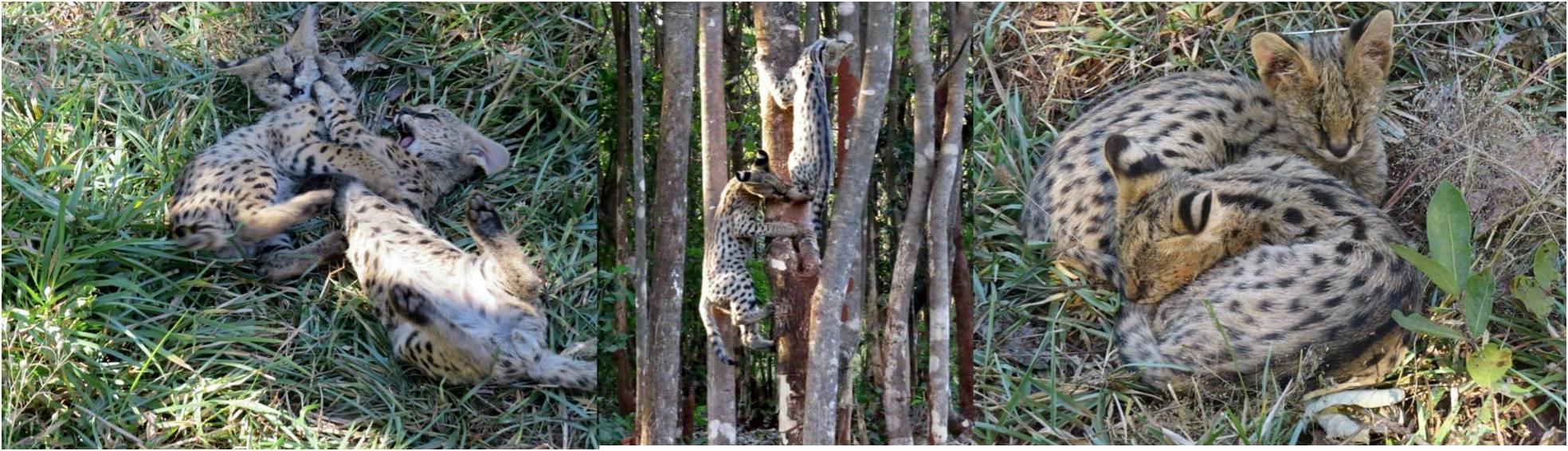 servals2