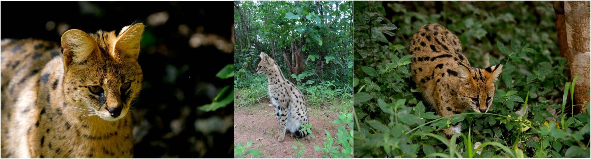 servals3