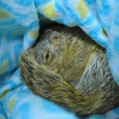 RESCUED AND RECUPERATED SQUIRREL