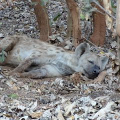 HYAENA RELOCATION: WAITING GAME