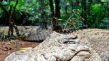 Bushdog, one of our crocs
