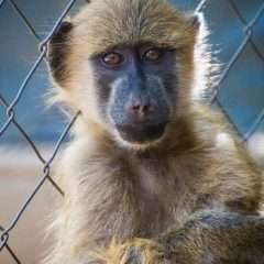 NEW INTAKE: TROY THE BABOON