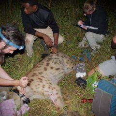 HELPING TO REDUCE HUMAN-HYAENA CONFLICT