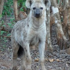 URBAN HYAENAS SAY GOODBYE TO CITY