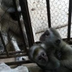 ORPHAN SEASON: CAPE & SALIMA, TOWN MONKEYS