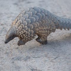 PANGOLIN RESCUED, TRAFFICKERS ARRESTED