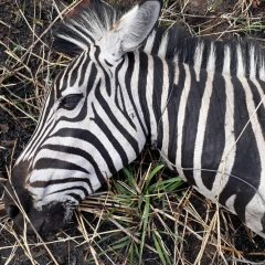 VETS SAVE ZEBRAS FROM POACHER SNARES