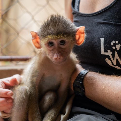 Baby baboon_malawiwildliferescue