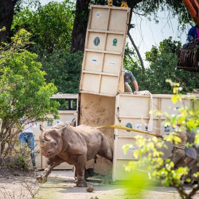 Black rhino being release in Liwonde by Africa Parks - WERU - wildlife - photo credit Kyle de Nobrega