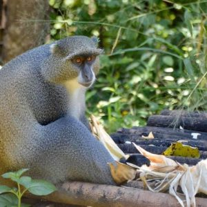 Blue monkey enjoying food at LWC
