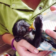 DOUBLE RESCUE: VERVET AND BLUE MONKEY