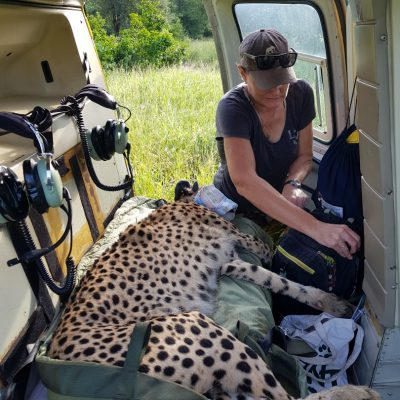 Cheetah relocation - WERU - wildlife - 2020